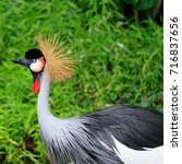 The Grey Crowned Crane Bird