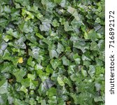 Small photo of tile able green ivy texture useful as a background