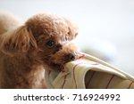 poodle | Shutterstock . vector #716924992