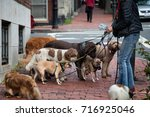 Stock photo dog walker with eight dogs on leashes location beacon hill boston 716925046