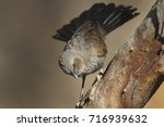 Small photo of An Apostlebird, Struthidea cinerea, standing on a branch with tail flaired