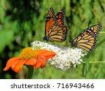 two monarch butterflies and... | Shutterstock . vector #716943466