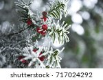 snowy yew | Shutterstock . vector #717024292