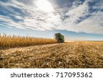 Harvesting Of Corn Field With...