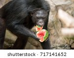 Chimpanzee Eating Watermelon