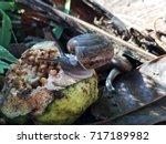 snail eat fruit | Shutterstock . vector #717189982