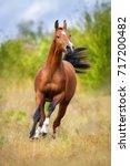 Bay Arabian Horse Run Fast...