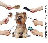 Stock photo pretty yorkshire terrier puppy and hands with groomer tools isolated on white 717295522