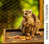 ring tailed lemur  lemur catta  ... | Shutterstock . vector #717322696
