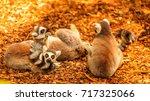eing tailed lemur  lemur catta  ... | Shutterstock . vector #717325066