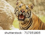 Adult Indochinese Tiger. The...