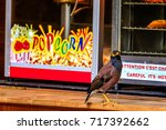 the common myna indian mynah ... | Shutterstock . vector #717392662
