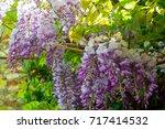 wisteria sinensis  chinese...   Shutterstock . vector #717414532