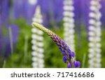 beautiful lupine flower... | Shutterstock . vector #717416686