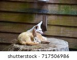 Small photo of Fennec fox(Vulpes zerda) sitting on the wood, that is small nocturnal fox found in Sahara of North Africa. Its most distinctive feature is its unusually large ears, which also serve to dissipate heat.