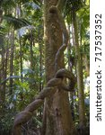liana climbing palm tree in...   Shutterstock . vector #717537352