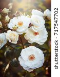 Stock photo white garden roses vintage autumn photo nature outdoor macro closeup toned photo 717547702