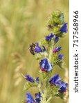 bee collecting pollen on blue...   Shutterstock . vector #717568966