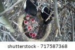 The Nest Of The Magpie  Pica...