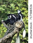 Small photo of Black and white colobus monkey (Colobus guereza) guards airspace