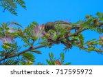 seychelles sunbird  cinnyris... | Shutterstock . vector #717595972