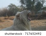 Small photo of White Lion Roaring