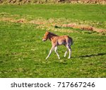 icelandic foal horse in spring... | Shutterstock . vector #717667246