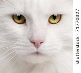Stock photo close up of maine coon cat years old 71770327