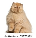 Persian Cat  3 Years Old  In...