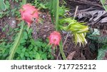 dragon fruit on plant  raw... | Shutterstock . vector #717725212