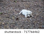 little baby white dog playing... | Shutterstock . vector #717766462