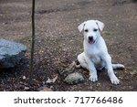 little baby white dog smilling... | Shutterstock . vector #717766486