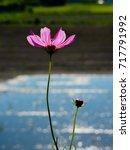 backlight pink cosmos flower in ... | Shutterstock . vector #717791992
