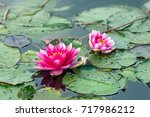 Two Red Water Lily  Nymphaea...