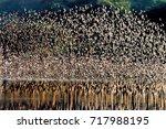 thousands of waders flying...   Shutterstock . vector #717988195