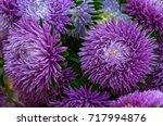 Frilly Purple Asters In The...