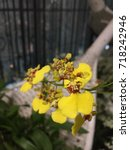 Small photo of Oncidium,abbreviated as Onc.in the horticultural trade,is a genus that contains about 330 species of orchids.Common names for plants in this genus include dancing-lady orchid and golden shower orchid.