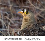 Small photo of Double -banded Sandgrouse closeup