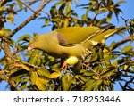 Small photo of African Green Pigeon feeding