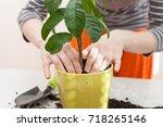 woman's hands transplanting...   Shutterstock . vector #718265146