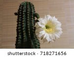 Small photo of Blossoming home cactus. Trichocereus cancans.