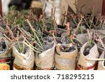 Seedlings Of Young Roses In A...