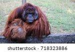 an orangutan is sitting in a... | Shutterstock . vector #718323886