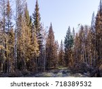 Small photo of Burnt up charred trees after the Cache creek fire in British Columbia, Canada.