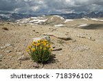 Small photo of alpine gold yellow wildflower growing on a barren slope above Humphreys Basin in the Sierra Nevada Mountains of California