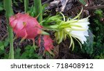 dragon fruit on plant  raw... | Shutterstock . vector #718408912