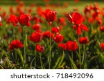 nice tulips | Shutterstock . vector #718492096