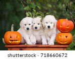 Three Golden Retriever Puppies...