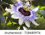 passion flower | Shutterstock . vector #718680976