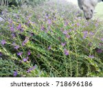 purple flowers with a dog on... | Shutterstock . vector #718696186
